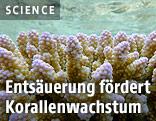 Gesunde Korallenkolonie am One Tree Reef