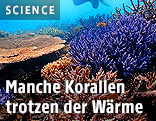 Temperaturtolerante Korallen im nördlichen Great Barrier Reef