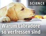 Ein Labrador stiehlt sich einen Keks von einem Teller
