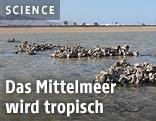 """Die Auster """"Saccostrea cucullata"""" bildet kleine Riffstrukturen"""