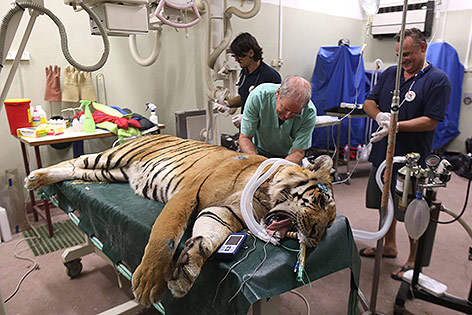 Betäubter Tiger wird untersucht