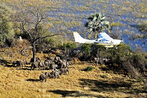 Savannenelefanten in Botswana
