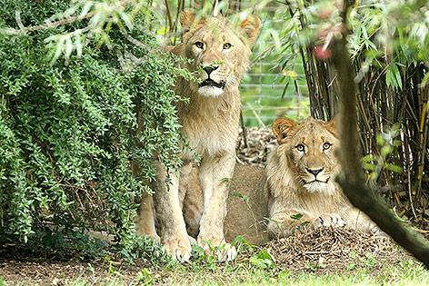 Löwen im Zoo Leipzig