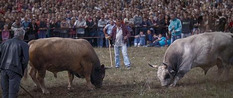 Männer und Stiere bei einem Stierkampf
