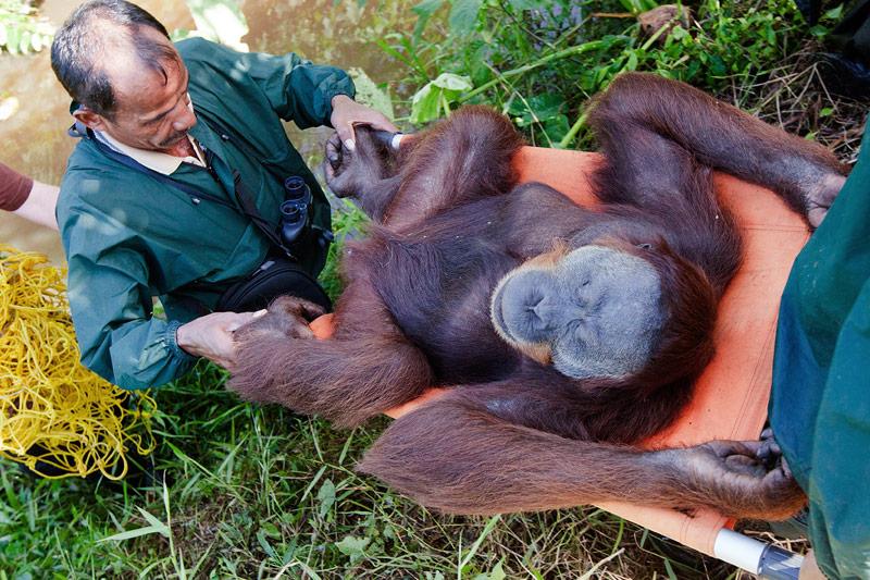 Ein Oranguntan wird in einen neuen Lebensraum getragen