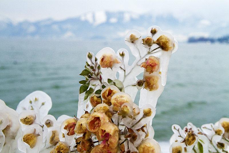 Vereiste Blüten