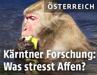 Makake isst eine Banane
