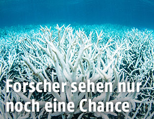 Gebleichte Korallen am Great Barrier Reef in Australien