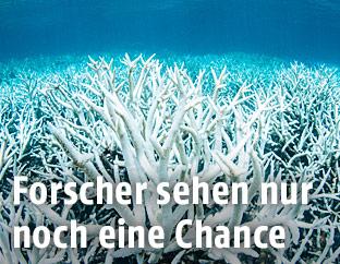 Gebleichte Korallen am Great Barrier Reef in Australien