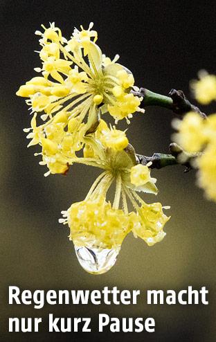 Ein Regentropfen auf einer Blüte