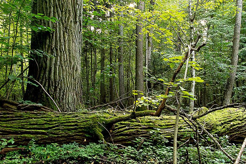 Eindruck aus dem Urwald in Bialowieza