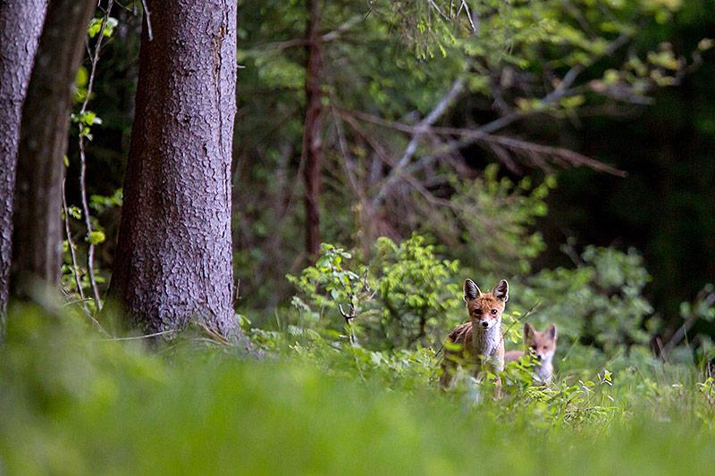 Füchse im Urwald in Bialowieza