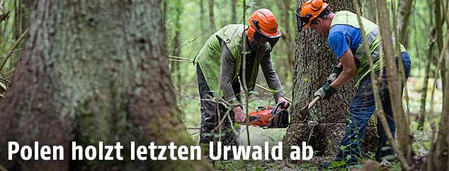 Männer schneiden einen Baum mit einer Motorsäge um