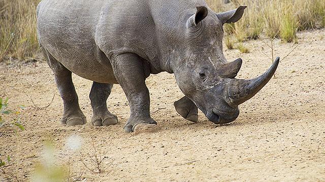 Nashörner schützen mit funkenden Zebras