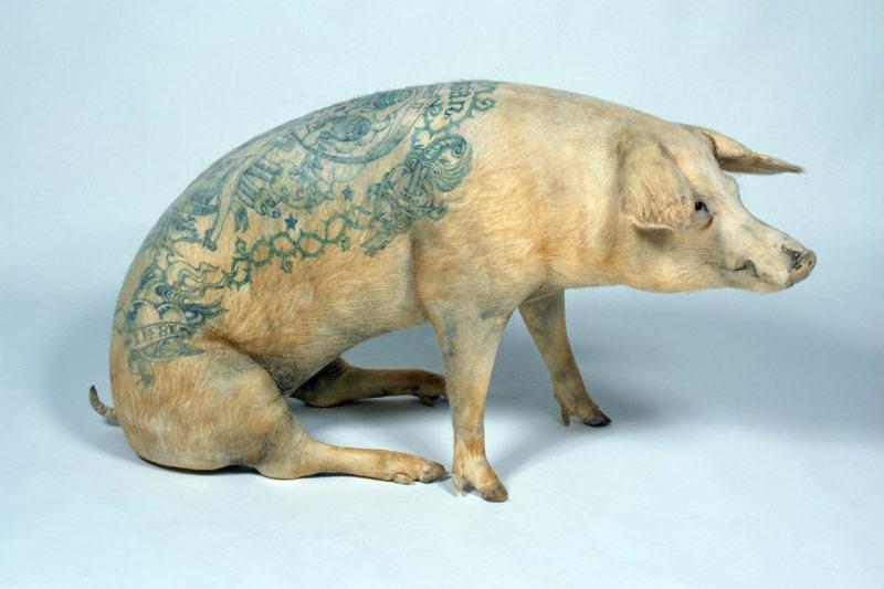 Tätowierte und ausgestopfte Schweineskulptur des belgischen Künstlers Wim Delvoye