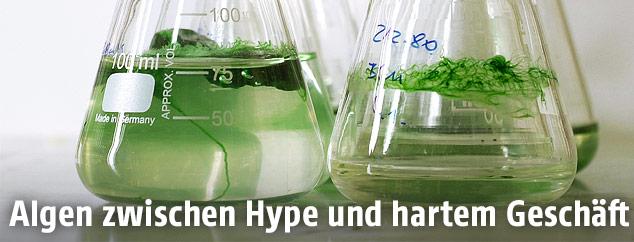 Algen im Glasbehälter