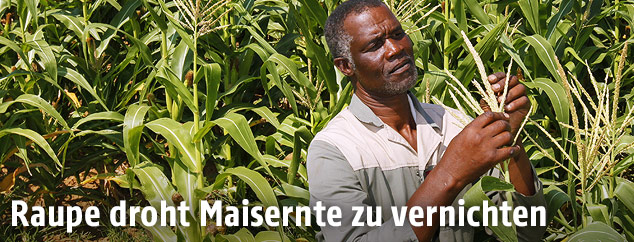Bauer untersucht Mais