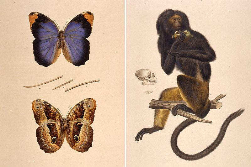 Schmetterlinge und Affe von Johann Mikan