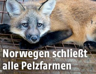 Fuchs in einem Käfig