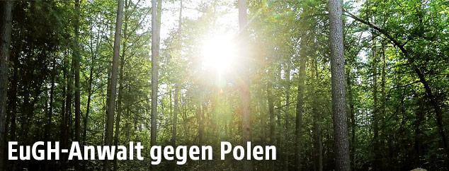 Polnischer Urwald Bialowieza