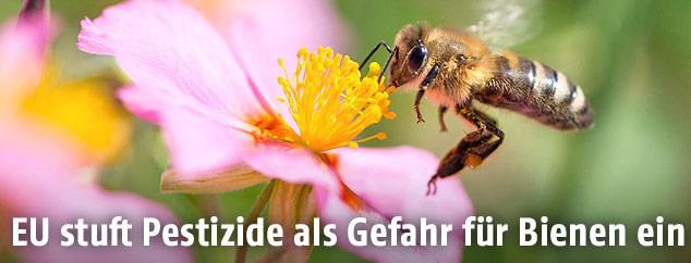 Biene neben Blumenblüte