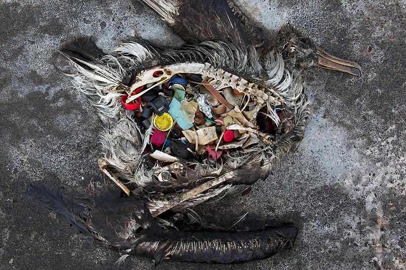 Toter Vogel mit Plastikmüll im Magen