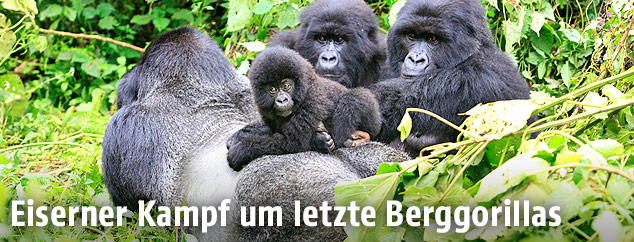 Berggorillas im Virunga-Nationalpark in der Demokratischen Republik Kongo