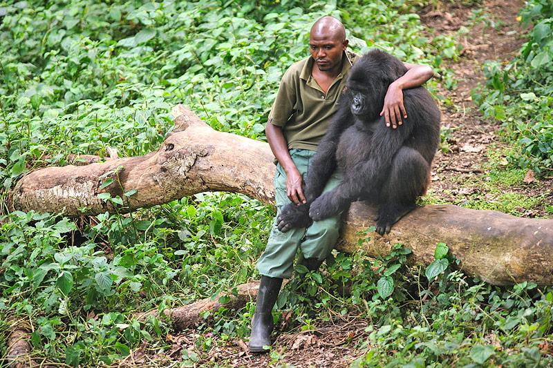 Aufseher mit verwaistem Gorilla