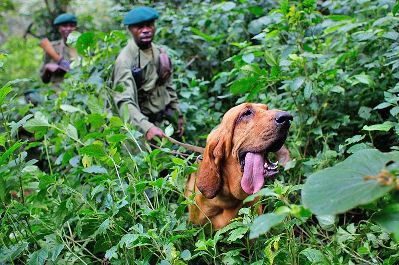 Ranger mit Bluthund im Virunga-Nationalpark in der Demokratischen Republik Kongo