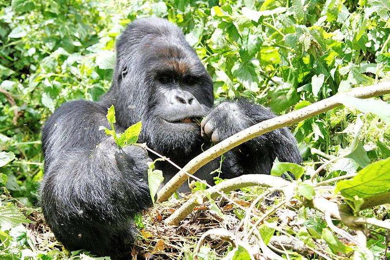 Männlicher Gorilla im Virunga-Nationalpark in der Demokratischen Republik Kongo