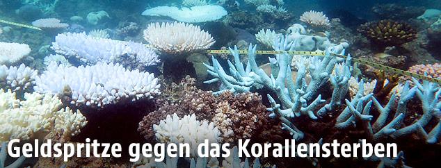 Korallensterben im Great Barrier Reef