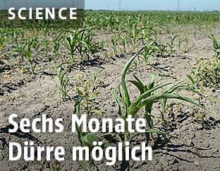 Durch Dürre klein gebliebene Pflanzen auf einem Feld