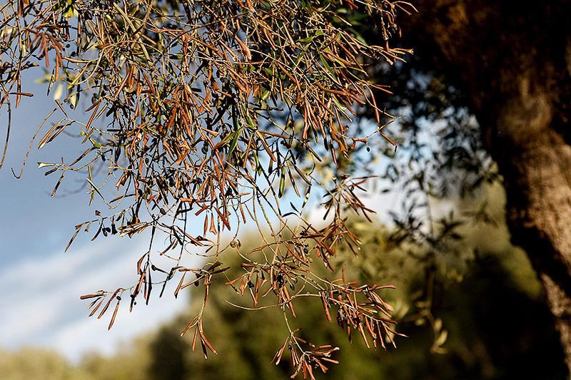 "Mit ""Xylella Fastidiosa"" infizierter Olivenbaum"