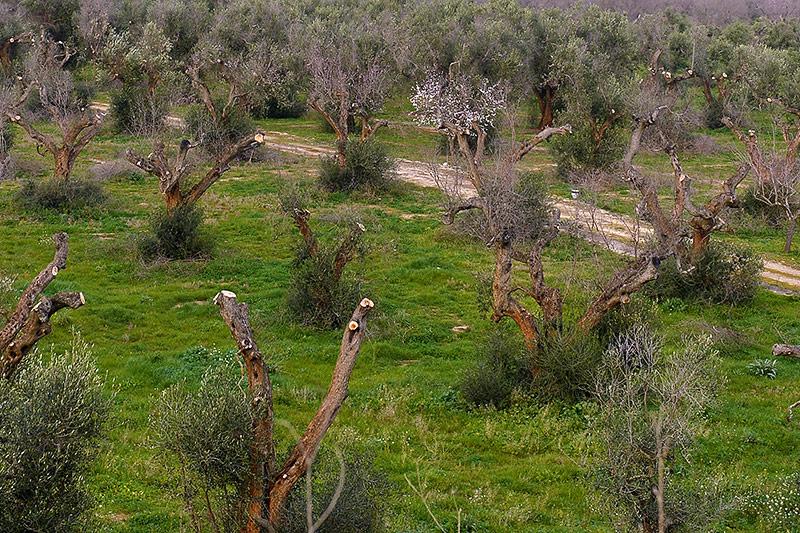 """Mit """"Xylella Fastidiosa"""" infizierte Olivenbäume"""