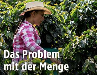 Kaffeebauern bei der Ernte