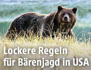Grizzlybären im Yellowston Nationalpark