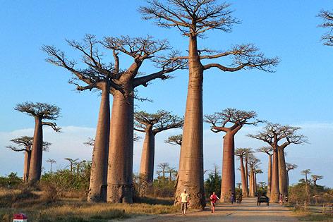 Uralte Baobabs in Afrika gehen plötzlich ein
