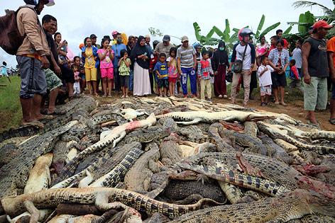 Dorfbewohner stehen versammelt um hunderte getötete Krokodile