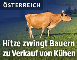 Kuh auf einer Weide
