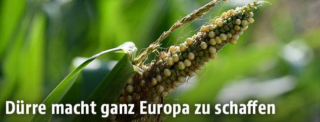 Ausgetrockneter Mais auf einem Feld in Bayern